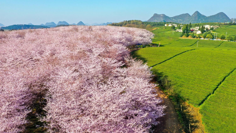 安顺平坝樱花观赏游玩攻略