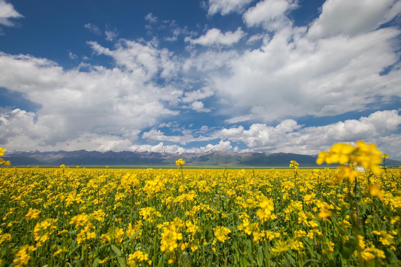 7月是门源油菜花的季节,门源旅游